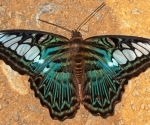 A butterfly with metallic wings