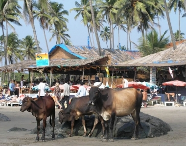cows-on-vagator-little-beach
