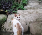 A cat with an intact tail on the stairs leading up to Phousi Hill's top