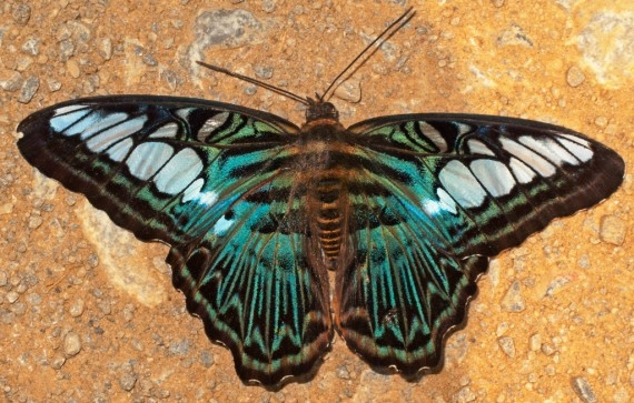 Metallic wings in the jungles of Laos